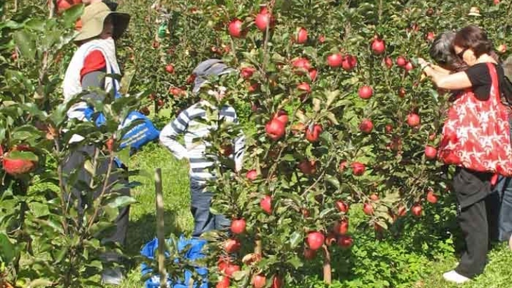 Bilpin Spring Orchard Apple Picking Sydney
