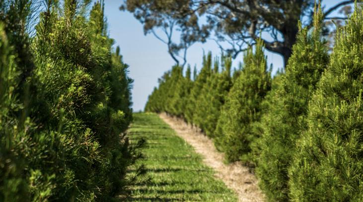 Christmas Tree Farms Close To Sydney CBD For A Real