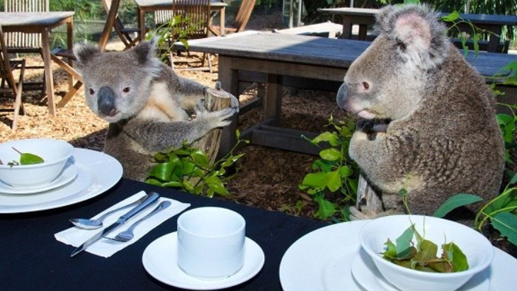 Breakfast with koalas merlin