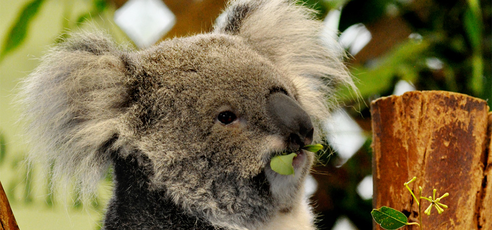 Breakfast With Koalas at WILD LIFE Sydney Zoo