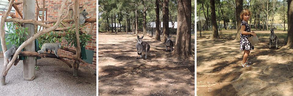Koalas & Kangaroos at Calmsley Hill Farm Sydney