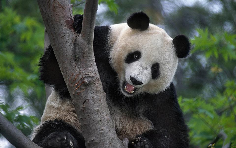 San Diego Zoo - Pandas